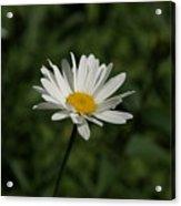 Single Shasta Daisy Bloom Acrylic Print