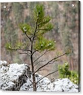 Single Snowy Pine Acrylic Print