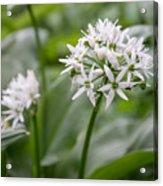 Single Stem Of Wild Garlic Acrylic Print