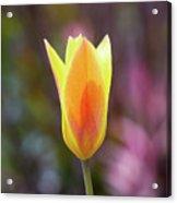 Single Tulip Acrylic Print