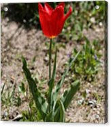 Single Tulip Acrylic Print