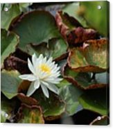 Single Water Lilly  Acrylic Print