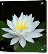 Single While Water Lily On Black Background Acrylic Print