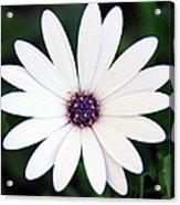 Single White Daisy Macro Acrylic Print