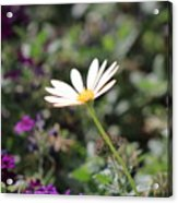 Single White Daisy On Purple Acrylic Print
