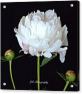 Single White Peony Acrylic Print