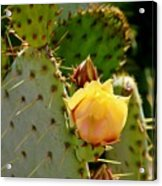 Single Yellow Cactus Bloom 050715a Acrylic Print