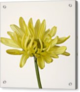 Single Yellow Daisy Acrylic Print