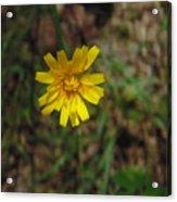 Single Yellow Flower Acrylic Print