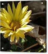 Single Yellow Mum Acrylic Print