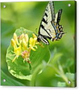 Sipping Swallowtail Acrylic Print