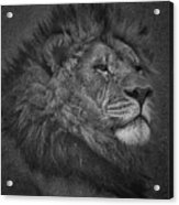 Sir Lion Acrylic Print