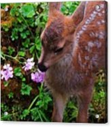 Sitka Black-tailed Fawn Acrylic Print