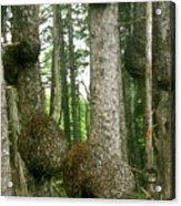 Sitka Spruce Burls On The Olympic Coast Olympic National Park Wa Acrylic Print by Christine Till