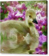 Sitting Among The Lilacs Acrylic Print