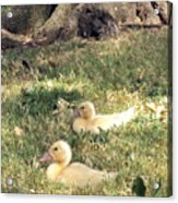 Sitting Ducks Acrylic Print