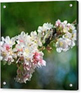 Sitting Guard In The Cherry Blossoms Acrylic Print