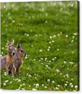 Sitting In Clover Acrylic Print