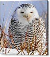 Sitting Snowy Owl Acrylic Print
