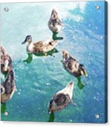 Six Ducks Swim Together Acrylic Print