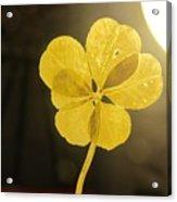 Six Leaf Clover In Studio 2 Acrylic Print