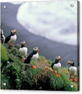 Six Puffins Perched On A Rock Acrylic Print