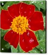 Sixlets Light Maroon Flower Acrylic Print