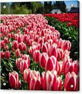 Skagit County Tulip Festival Acrylic Print