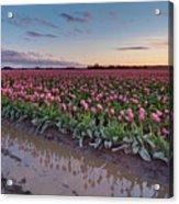 Skagit Valley Tulip Reflections Acrylic Print