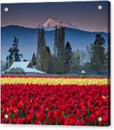 Skagit Valley Tulips-mt. Baker Acrylic Print
