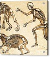 Skeletons Of Man, Ape, Bear, 1860 Acrylic Print