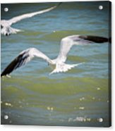 Skimmers In Flight Acrylic Print