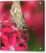 Skipper Butterfly Acrylic Print