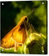 Skipper Butterfly With Sun Shine Acrylic Print