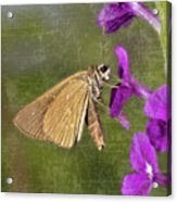 Skipper Butterly Sipping Nectar Acrylic Print