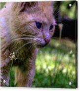 Skippy Feral Cat Portrait 0369b Acrylic Print