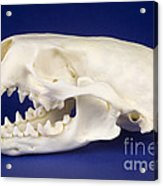 Skull Of A River Otter Acrylic Print