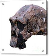 Skull Of Homo Erectus Acrylic Print