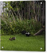 Skunk And Rabbit Surprise Acrylic Print