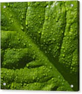 Skunk Cabbage Leaf Acrylic Print
