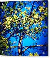 Sky Bloom Acrylic Print