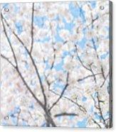 Sky Full Of Blossoms Acrylic Print