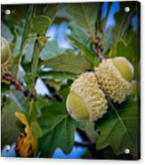 Sky Lit Oak Acorns Acrylic Print