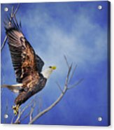 Skyward - Bald Eagle Acrylic Print
