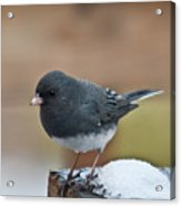 Slate Junco Feeding In Snow Acrylic Print