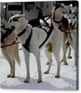 Sledge Dogs H B Acrylic Print