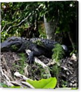 Sleeping Alligator Acrylic Print