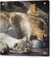 Sleeping Beauty,  Houston Zoo Acrylic Print