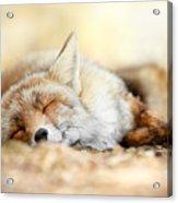 Sleeping Beauty -red Fox In Rest Acrylic Print