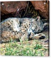 Sleeping Bobcat Acrylic Print